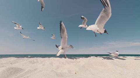 Flock Of Hungry Seagulls Feeding On The Beach stock footage