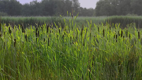Marsh reed close up Stock Video Footage