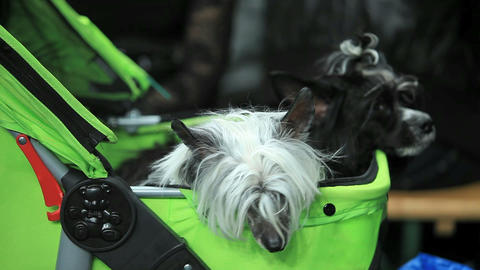 Chinese Crested Dog Stock Video Footage