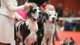 Great Dane Stock Video Footage