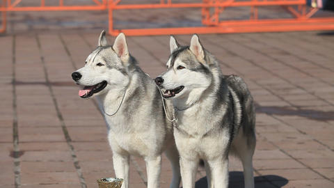 Siberian Husky Stock Video Footage