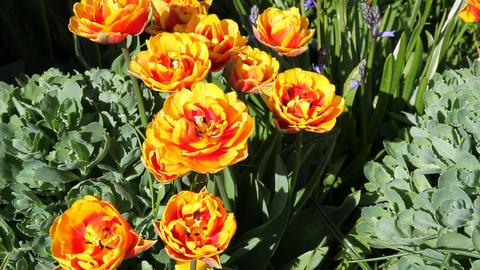 Twocolered tulips Stock Video Footage