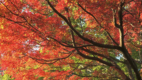 Autumn Leaves in Showa Kinen Park,Tokyo,Japan_3 Stock Video Footage