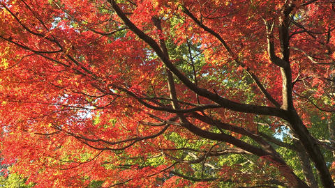Autumn Leaves in Showa Kinen Park,Tokyo,Japan_3 Footage