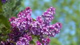 10689 Pink Lilac With Bee stock footage