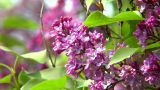 10691 Pink Lilac Close2 stock footage