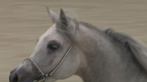 arab horse close up 01 Stock Video Footage