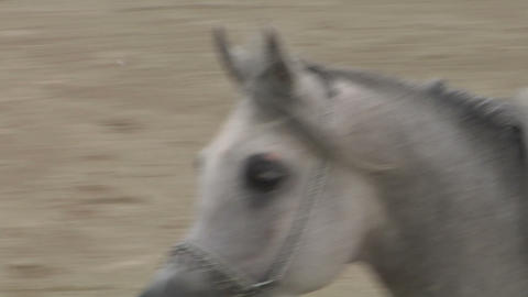 arab horse close up 01 Footage