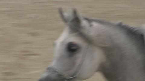 arab horse close up 01 Footage