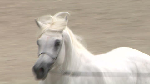 arab horse close up 03 Stock Video Footage