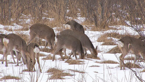 Hokkaido Sika Deers in Kushiro Wetlands,Hokkaido,Japan Stock Video Footage