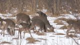 Hokkaido Sika Deers in Kushiro Wetlands,Hokkaido,Japan Footage