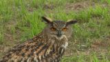 Eagle Owl Close Up 01 stock footage