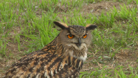 eagle owl close up 01 Stock Video Footage