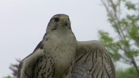 saker falcon close up 01 Stock Video Footage