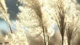 Japanese Silver Grass,in Kawaguchi Lake,Yamanashi,Japan stock footage