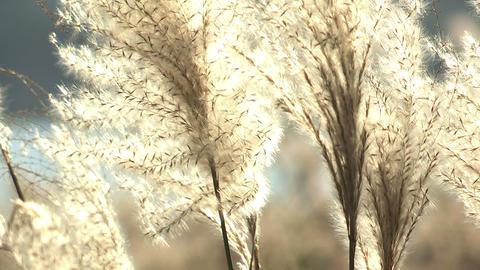 Japanese silver grass,in Kawaguchi Lake,Yamanashi,Japan Footage