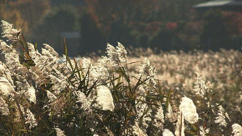 Lakeside grassland in Kawaguchi Lake,Yamanashi,Japan Stock Video Footage