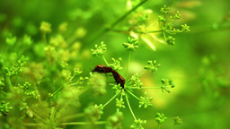 Red Beetles Bugs Coleoptera In Love On Dill Flower Footage