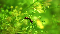Red Beetles Bugs Coleoptera Mating On Dill Flower stock footage