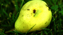 Pear Broken Fallen Down With Ants Going Apparently At Random stock footage