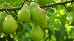 Unripe Pears On A Tree, Pan Footage