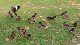 Common Myna (Acridotheres tristis) Several birds looking for dinnner Footage
