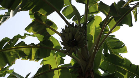 Swaying banana leaves and green banana cluster Footage