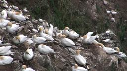 Gannet (Sula bassana) colony nesting on cliff Footage