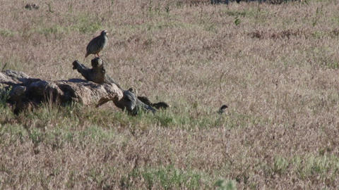 Family Of Chukers stock footage