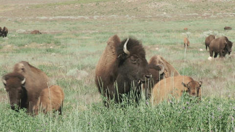 Buffalo With Young stock footage