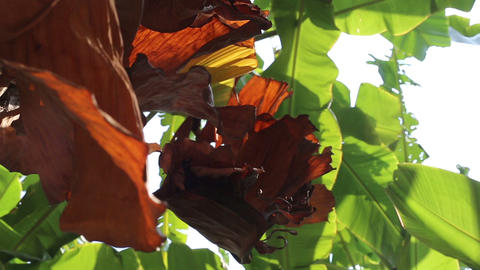 Dry Banana Leaves Swaying In The Wind stock footage