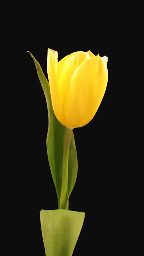 Time-lapse of opening yellow tulip with ALPHA channel, portrait 影片素材