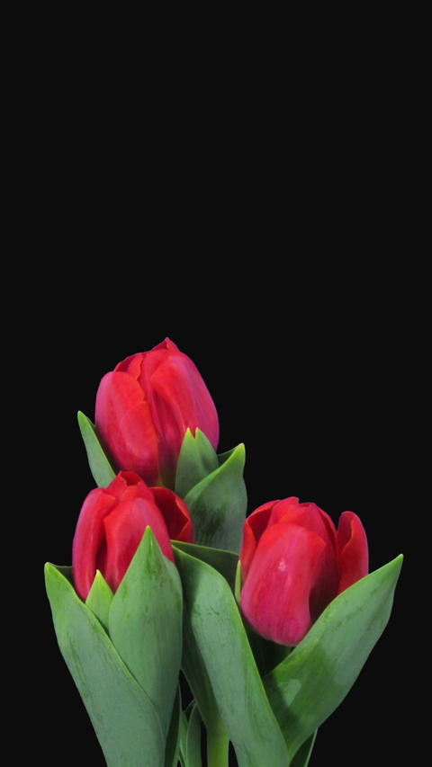 Time-lapse of opening red tulips RGB + ALPHA matte... Stock Video Footage