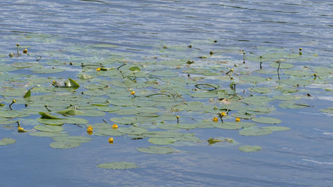 Lilia (water lily) in the summer at the lake Footage