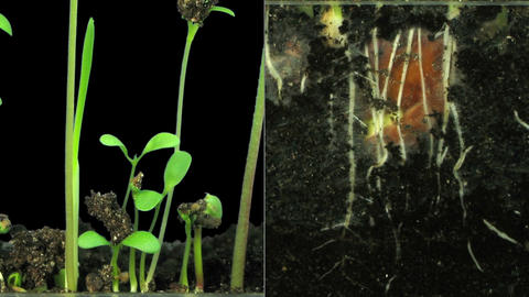 Time-lapse of germinating mixed vegetables in RGB + ALPHA matte format Footage