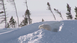 Polar Bear (Ursus Maritimus) Cub Playing Outside The Den stock footage
