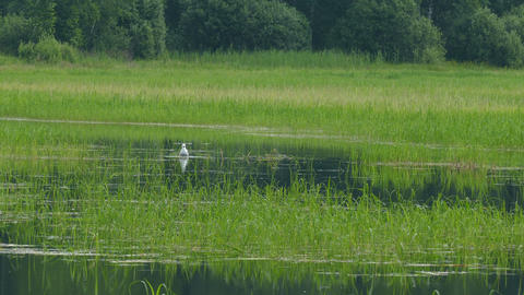 Lake with green reeds and Gull bathing summer day UHD Footage