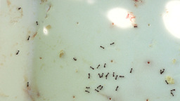 Black Garden Ants (Lasius niger) With Meat And Bread Crumbs And Rays Of Sunshine Footage