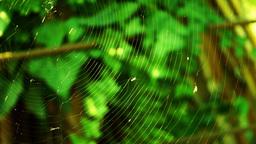Midge In Spider(order Araneae) Web Footage