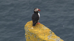 Atlantic Puffin (Fratercula arctica) standing on a cliff Footage