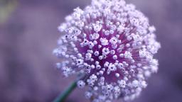 Onion (Allium cepa) Flower, Gray Background GIF