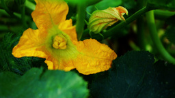 Courgette Flower, Pan Footage