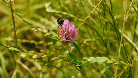 Bumblebee gathers pollen and flies away towards camera Footage