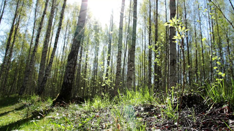 Sunny springtime birch forest Footage