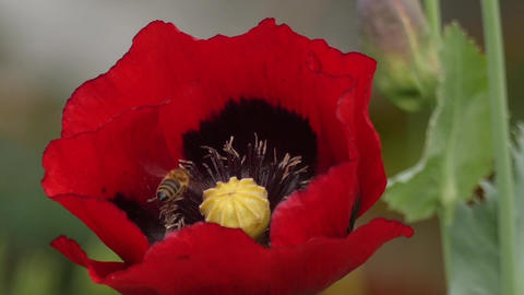 Honeybee Landing On A Poppy Blossom, Slow Motion stock footage