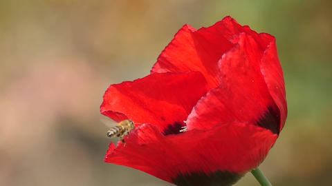 Slow Motion Of A Honeybee Landing On Poppy stock footage