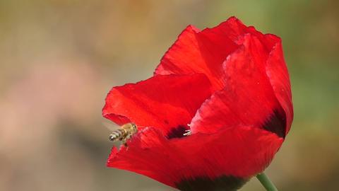 Slow motion of a honeybee landing on poppy Footage
