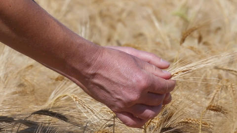 Slow motion of hands testing ripe barley Footage