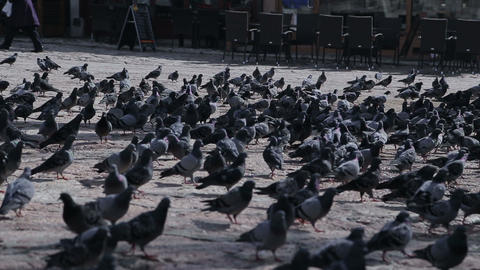 Sarajevo pigeons Footage
